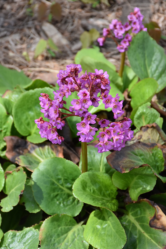 Heartleaf Bergenia (Bergenia cordifolia) at Weston Nurseries