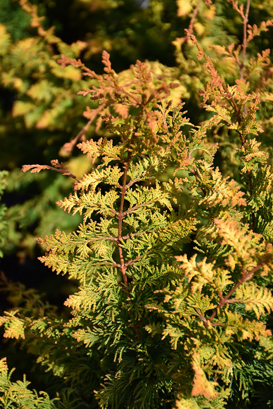 Fernspray Gold Falsecypress (Chamaecyparis obtusa 'Fernspray Gold') at Weston Nurseries