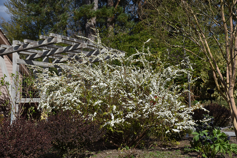 Ogon Spirea (Spiraea thunbergii 'Ogon') at Weston Nurseries