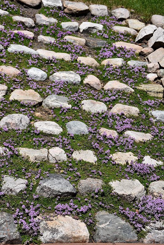 Purple Carpet Creeping Thyme (Thymus praecox 'Purple Carpet') at Weston Nurseries