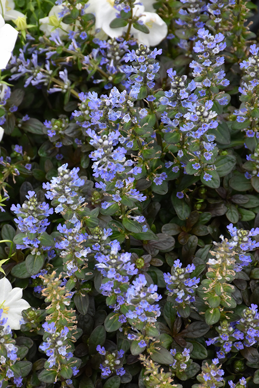 Chocolate Chip Bugleweed (Ajuga reptans 'Chocolate Chip') at Weston Nurseries