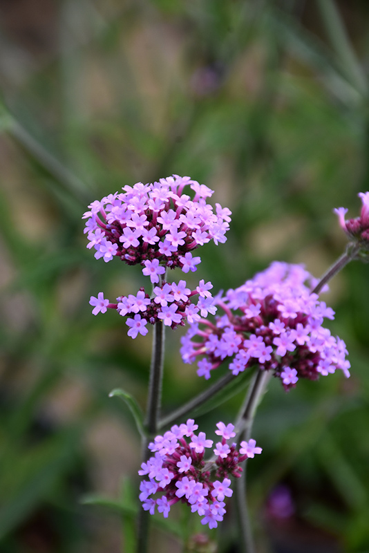 Lollipop Verbena (Verbena bonariensis 'Lollipop') at Weston Nurseries