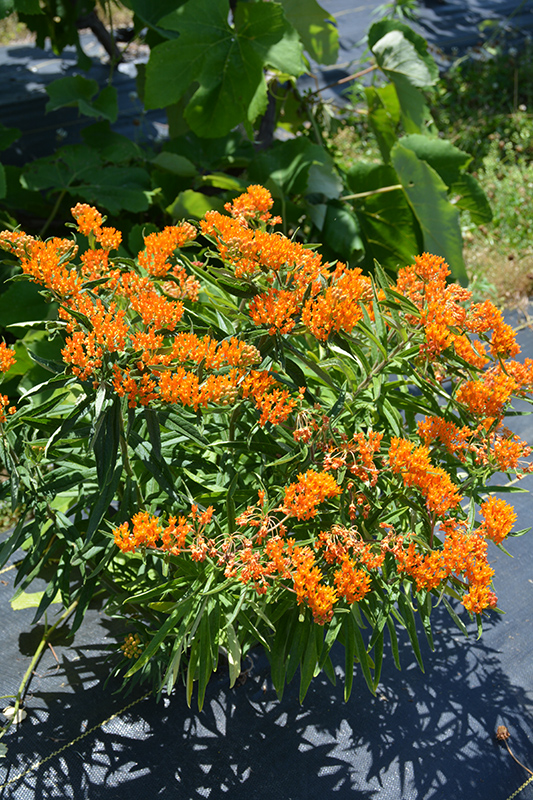 Butterfly Weed (Asclepias tuberosa) at Weston Nurseries