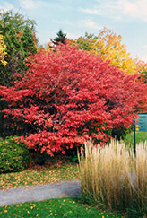 Shadblow Serviceberry (Amelanchier canadensis) at Weston Nurseries