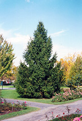 Norway Spruce (Picea abies) at Weston Nurseries