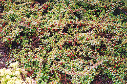 Streib's Findling Cotoneaster (Cotoneaster dammeri 'Streib's Findling') at Weston Nurseries