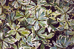 Silver Edge Japanese Spurge (Pachysandra terminalis 'Variegata') at Weston Nurseries