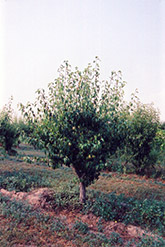 Anjou Pear (Pyrus communis 'Anjou') at Weston Nurseries