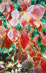 Jelena Witchhazel (Hamamelis x intermedia 'Jelena') at Weston Nurseries