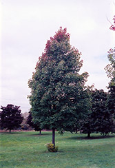 Bowhall Red Maple (Acer rubrum 'Bowhall') at Weston Nurseries