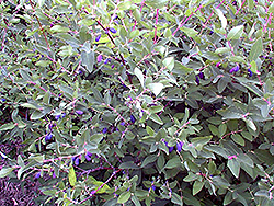 Berry Blue Honeyberry (Lonicera caerulea 'Berry Blue') at Weston Nurseries