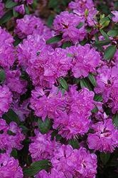 Compact P.J.M. Rhododendron (Rhododendron 'P.J.M. Compact') at Weston Nurseries