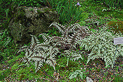 Japanese Painted Fern (Athyrium nipponicum 'Pictum') at Weston Nurseries