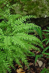 Northern Maidenhair Fern (Adiantum pedatum) at Weston Nurseries