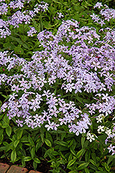 Woodland Phlox (Phlox divaricata) at Weston Nurseries