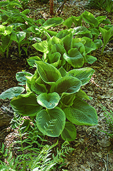 Frances Williams Hosta (Hosta 'Frances Williams') at Weston Nurseries