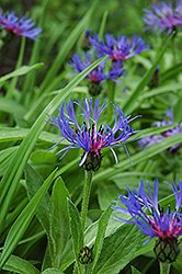 Mountain Bluet (Centaurea montana) at Weston Nurseries