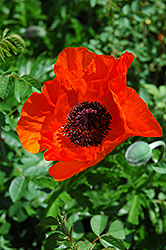 Allegro Poppy (Papaver orientale 'Allegro') at Weston Nurseries