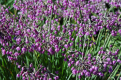 Nodding Onion (Allium cernuum) at Weston Nurseries