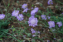 Butterfly Blue Pincushion Flower (Scabiosa 'Butterfly Blue') at Weston Nurseries