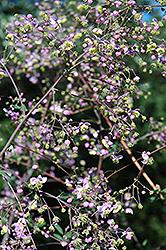 Rochebrun Meadow Rue (Thalictrum rochebrunianum) at Weston Nurseries