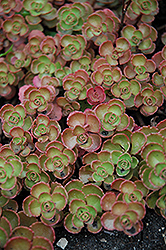 Fulda Glow Stonecrop (Sedum spurium 'Fuldaglut') at Weston Nurseries