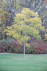 Kentucky Coffeetree (Gymnocladus dioicus) at Weston Nurseries