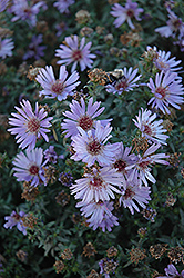 Woods Blue Aster (Aster 'Woods Blue') at Weston Nurseries