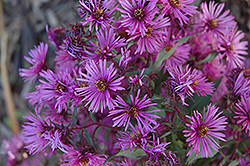 Woods Pink Aster (Aster 'Woods Pink') at Weston Nurseries
