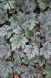 Frosted Violet Coral Bells (Heuchera 'Frosted Violet') at Weston Nurseries