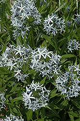 Blue Star Flower (Amsonia tabernaemontana) at Weston Nurseries