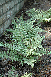Ghost Fern (Athyrium 'Ghost') at Weston Nurseries