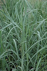 Heavy Metal Blue Switch Grass (Panicum virgatum 'Heavy Metal') at Weston Nurseries
