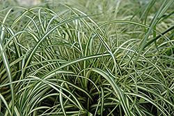 Evergold Variegated Japanese Sedge (Carex oshimensis 'Evergold') at Weston Nurseries