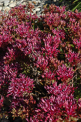 Dragon's Blood Stonecrop (Sedum spurium) at Weston Nurseries