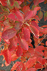 Autumn Brilliance Serviceberry (Amelanchier x grandiflora 'Autumn Brilliance') at Weston Nurseries