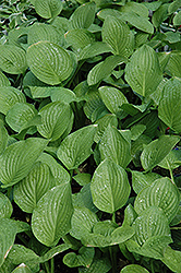 Royal Standard Hosta (Hosta 'Royal Standard') at Weston Nurseries