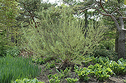 Rosemary Willow (Salix elaeagnos) at Weston Nurseries