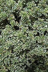 Variegated Boxwood (Buxus sempervirens 'Variegata') at Weston Nurseries