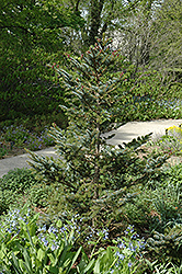 Howell's Dwarf Tigertail Spruce (Picea bicolor 'Howell's Dwarf Tigertail') at Weston Nurseries