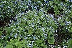 Siberian Bugloss (Brunnera macrophylla) at Weston Nurseries