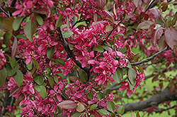 Profusion Flowering Crab (Malus 'Profusion') at Weston Nurseries