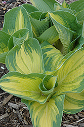 Great Expectations Hosta (Hosta 'Great Expectations') at Weston Nurseries