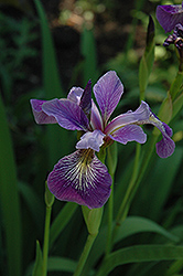 Blue Flag Iris (Iris versicolor) at Weston Nurseries