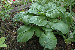 Fried Green Tomatoes Hosta (Hosta 'Fried Green Tomatoes') at Weston Nurseries