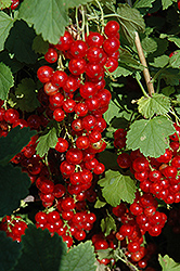 Red Lake Red Currant (Ribes sativum 'Red Lake') at Weston Nurseries