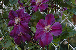Star of India Clematis (Clematis 'Star of India') at Weston Nurseries