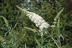White Profusion Butterfly Bush (Buddleia davidii 'White Profusion') at Weston Nurseries