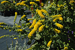 Golden Fleece Goldenrod (Solidago sphacelata 'Golden Fleece') at Weston Nurseries