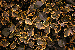 Country Gold Wintercreeper (Euonymus fortunei 'Country Gold') at Weston Nurseries